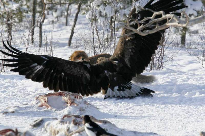 Eagle fighting Fox