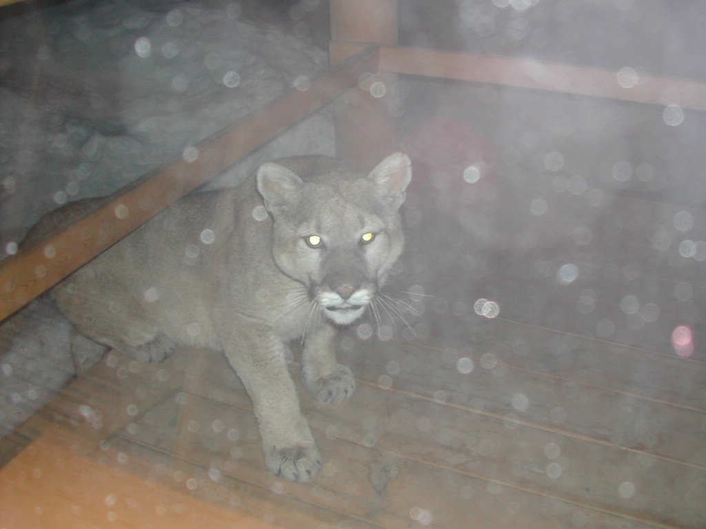 Cougar Climbing on Camp Deck