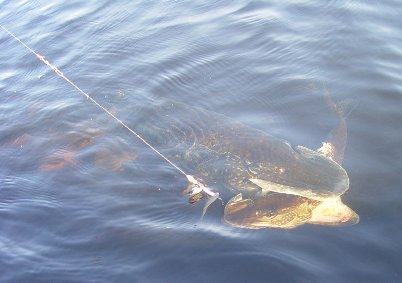 Large Pike in water